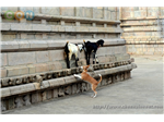 Pets playing in ThiruVidai Maruthur Mahalingaswamy temple campus