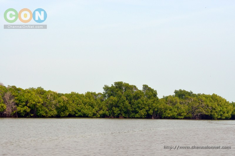 A view of Mangrove trees in Pichavaram