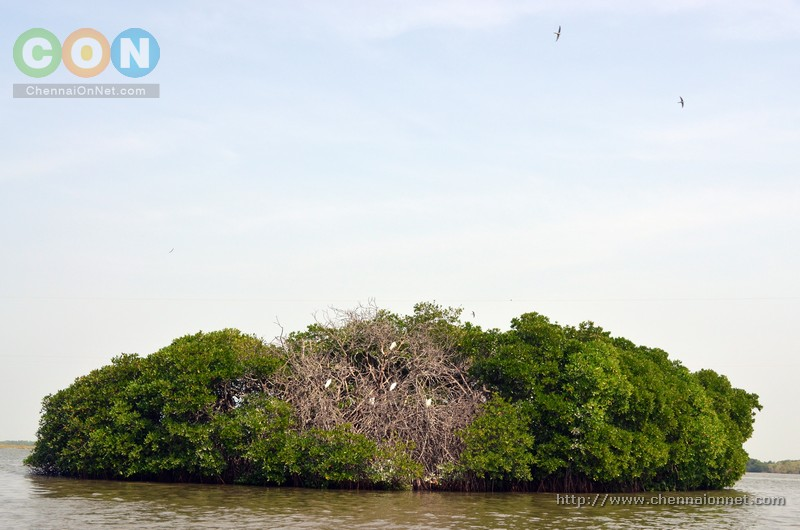 A group of Mangrove trees in Pichavaram with birds sitting on it.