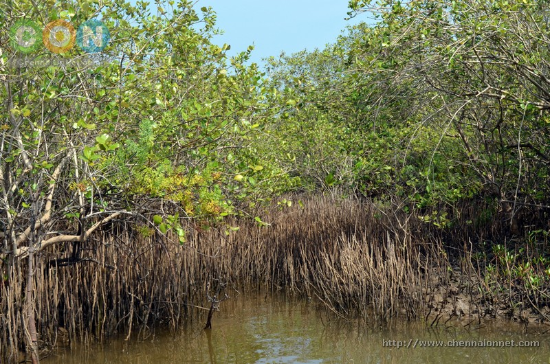 Mangrove trees in Pichavaram.