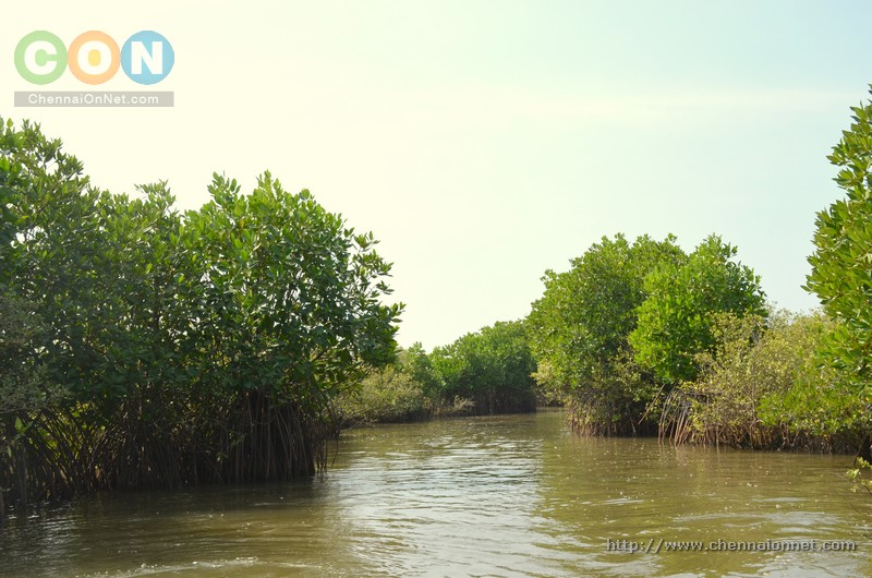Boating path amidst Mangrove forest in Pichavaram.