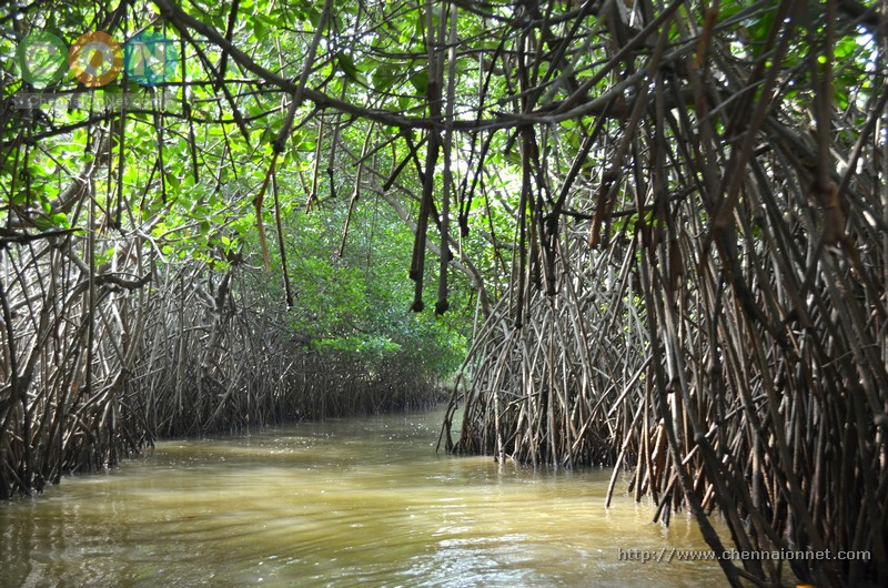 An exotic view of the path found in Pichavaram Mangrove forest.