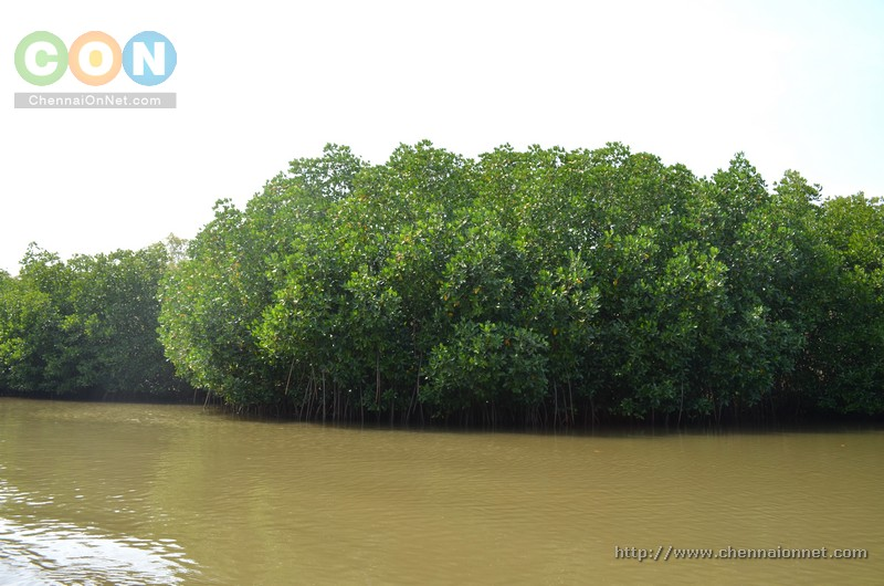 A small group of Mangrove trees.