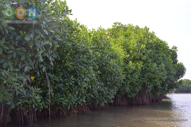 Mangrove trees seen on the path of the boat in Pichavaram.