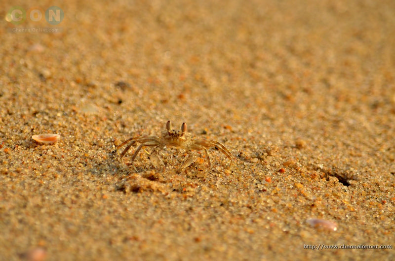 baby crab at Elliot's beach-Besant Nagar-chennai