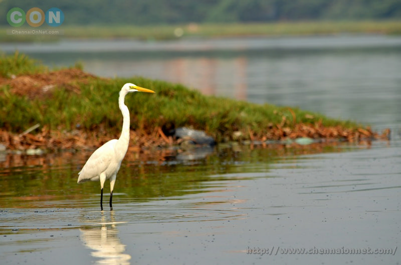 Egret at Kelambakkam and Muttukadu-ECR
