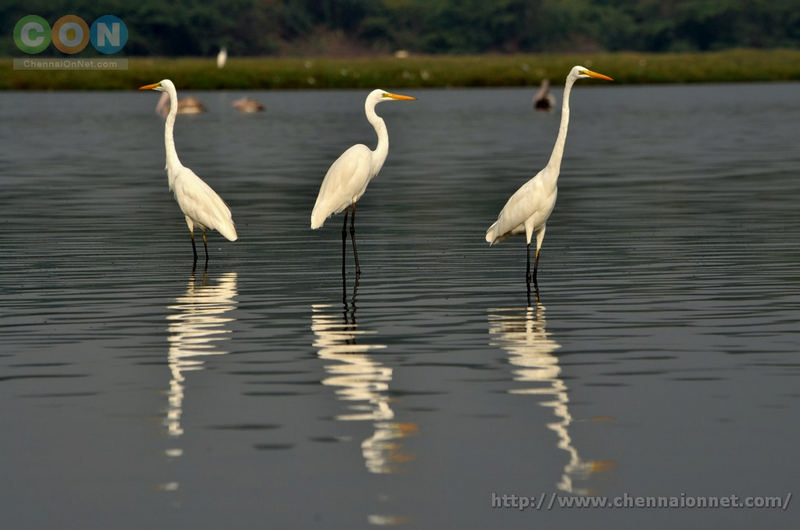Egrets at Kelambakkam and Muttukadu-ECR