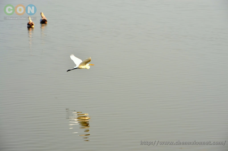 Egret in flight at Kelambakkam and Muttukadu-ECR