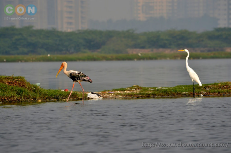 Egret and Painted Stork at Kelambakkam and Muttukadu-ECR