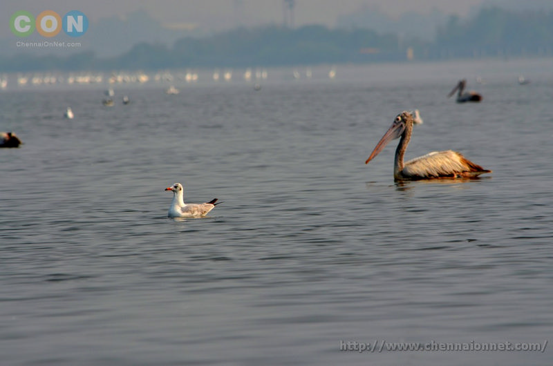 Pelican and a Gull at Kelambakkam and Muttukadu-ECR