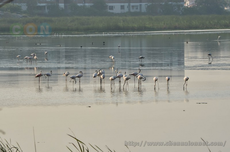 Flamingos and Other Migratory Birds at Pallikarani Marsh Land