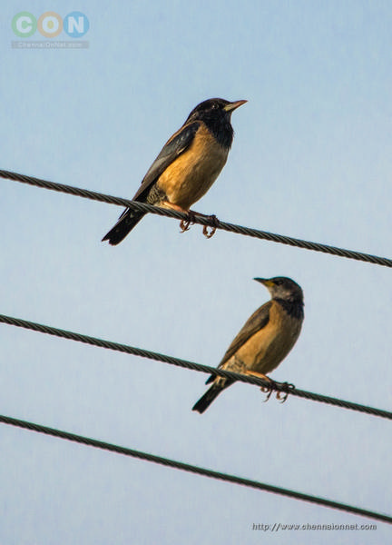 Rosy Starling.