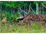 Peacock at Siruthavur Village.