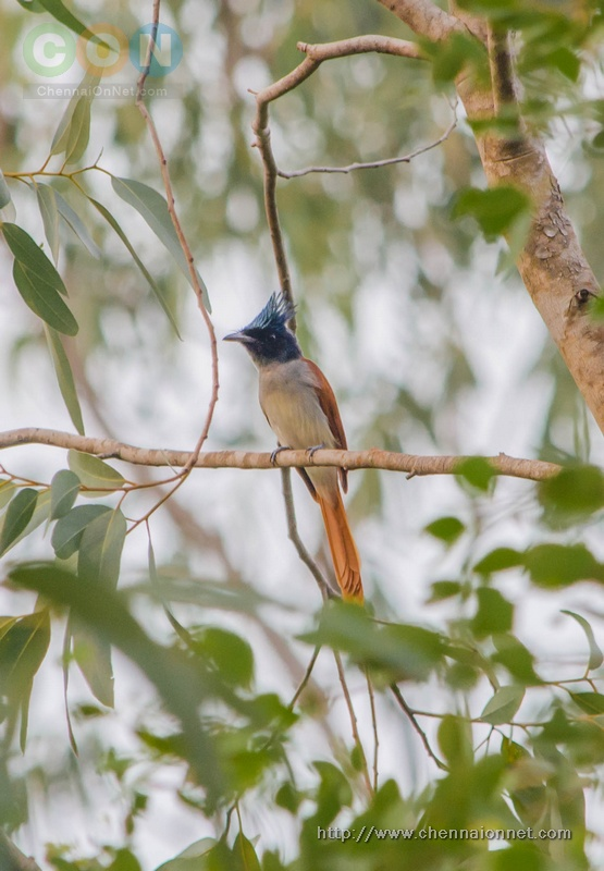 Asian Paradise Fly Catcher   at Nanmangalam Reserve Forest