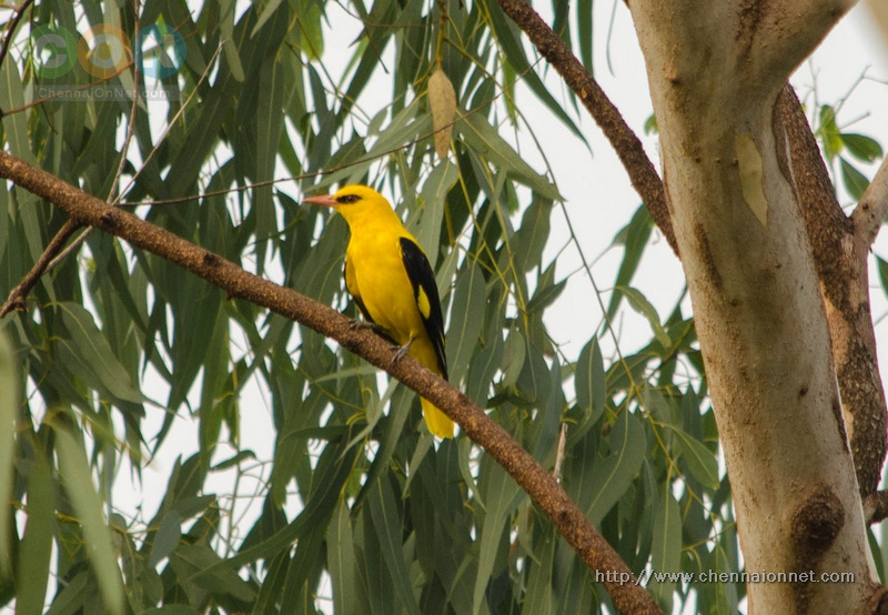 Golden Oriole   at Nanmangalam Reserve Forest