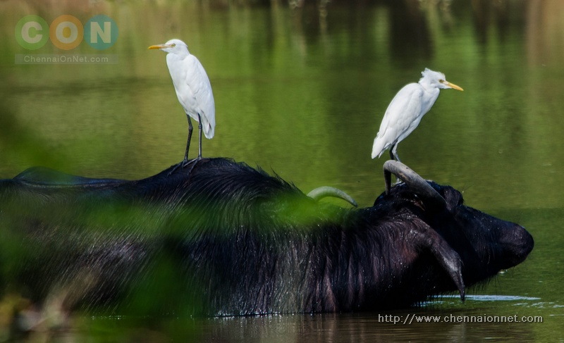 A Pair of Egret sitting on a Buffalo in a small pond inside Nanmangalam Reserve Forest