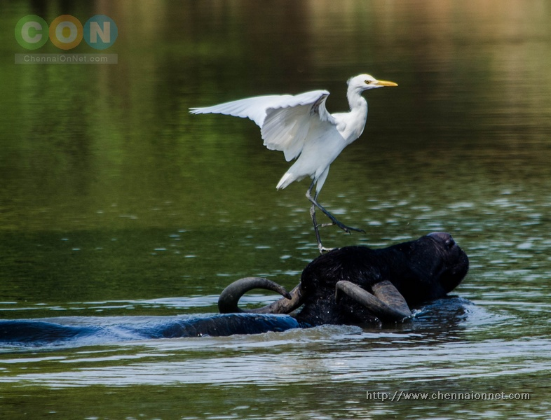 Egret sitting on a Buffalo in a small pond inside Nanmangalam Reserve Forest