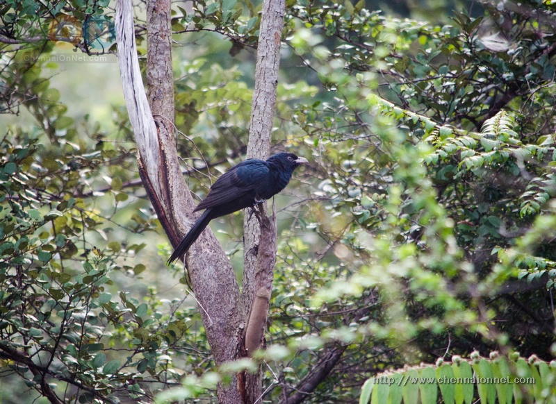 Asian Koel at Nanmangalam Reserve Forest