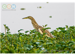 Pond Heron at Nanmangalam Reserve Forest