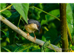 Ashy Prinia  at Nanmangalam Reserve Forest