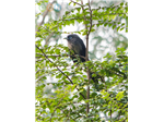 A Blue-faced Malkoha at Nanmangalam Forest