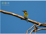Blue tailed Bee-eater at Nanmangalam Reserve Forest