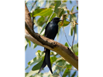 A Black Drongo   at Nanmangalam Reserve Forest