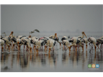 Painted Storks at Pulicat Backwater or Lake Bird Sanctuary.