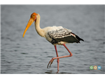 A Painted Stork at Pulicat Backwater or Lake Bird Sanctuary.