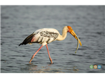 Painted Stork with fish catch at Pulicat Backwater or Lake Bird Sanctuary.