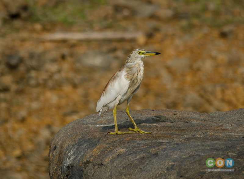 Pond Heron at Chembarambakkam Lake.