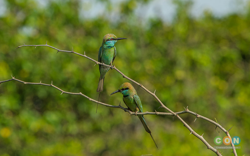 A pair of Green Bee eaters at Adayar Backwater behind Theosophical Society.