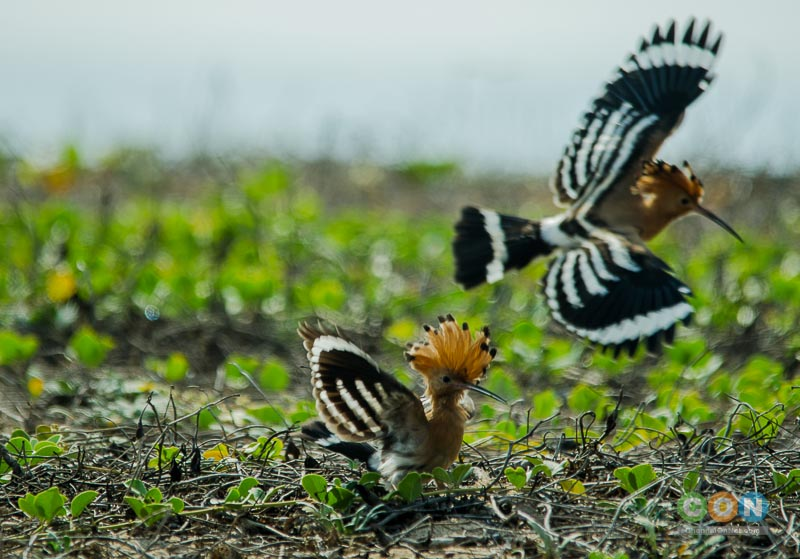A pair of Common Hoopoe at Adayar Backwater behind Theosophical Society.