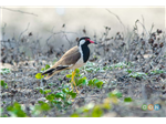 Red wattled Lapwing at Adayar Backwater behind Theosophical Society.