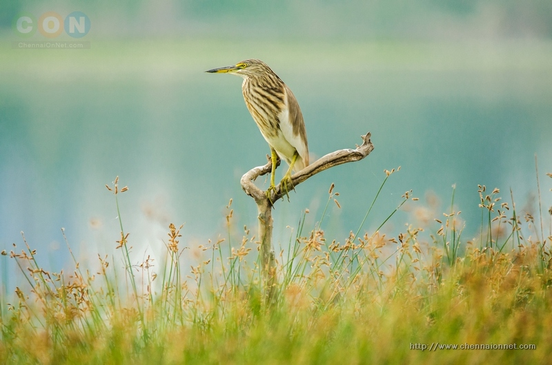 Pond Heron at Sholinganallur Marsh.