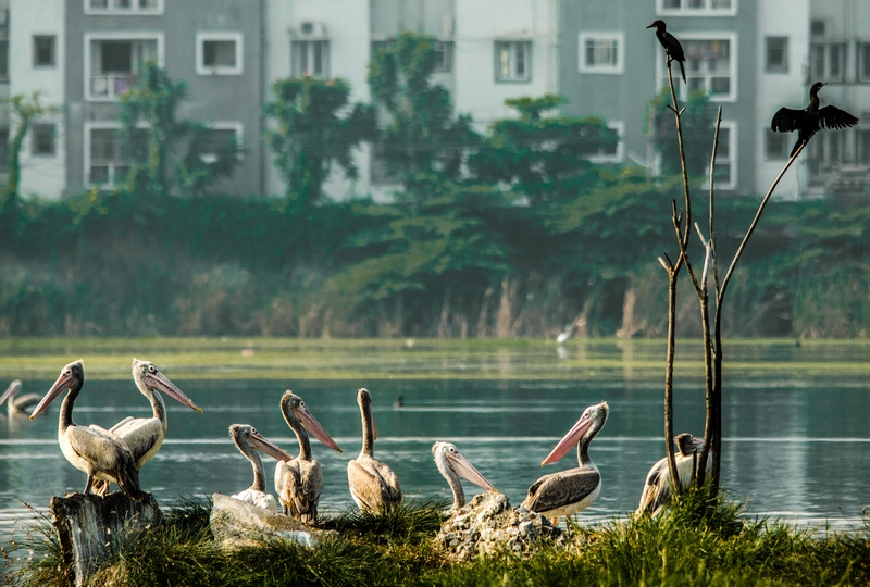 Pelicans and Cormorants at Sholinganallur Marsh.