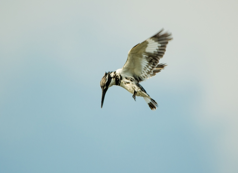 Pied King-Fisher hovering at Sholinganallur Marsh.