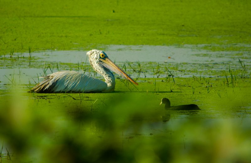 Pelican and Common Coot  at Sholinganallur Marsh.