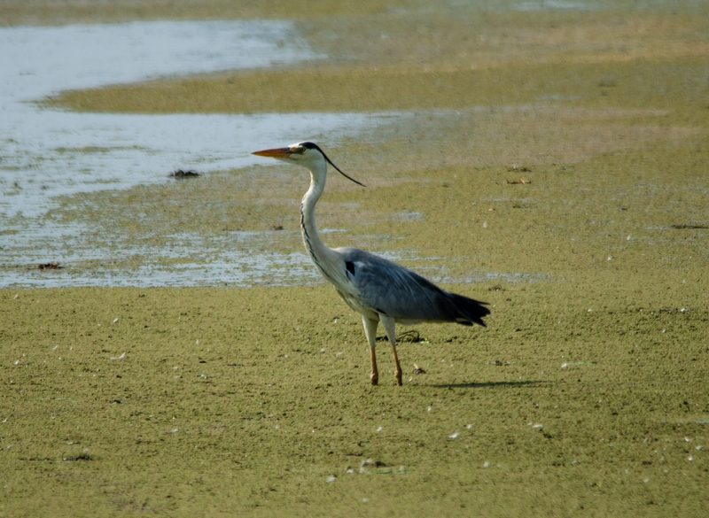 Grey Heron at Sholinganallur Marsh.