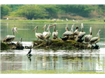 Pelicans and Cormorant at Sholinganallur Marsh.