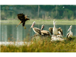 Pelicans and a Marsh Harrier at Sholinganallur Marsh.