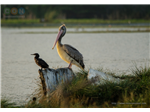 Pelicans and a Cormorant at Sholinganallur Marsh.