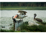 Pelicans and Cormorant fighting at Sholinganallur Marsh.