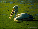 Pelican with a fish catch at Sholinganallur Marsh.