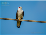 Black Shouldered Kite at Sholinganallur Marsh.