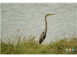 Purple Heron at Sholinganallur Marsh.