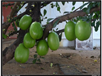 Thiruvodu fruit, Gnayiru temple.