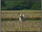 A cow seen outside in a paddy field in Vadathillai